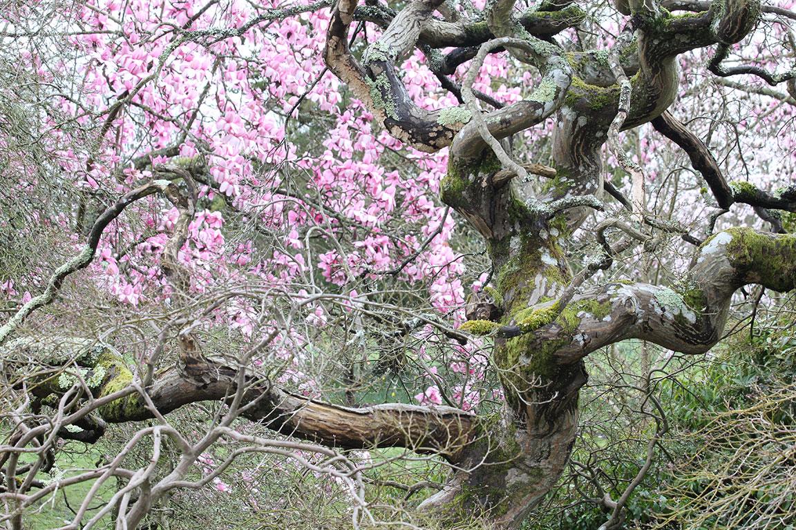 Spring Old Tree Magnolia